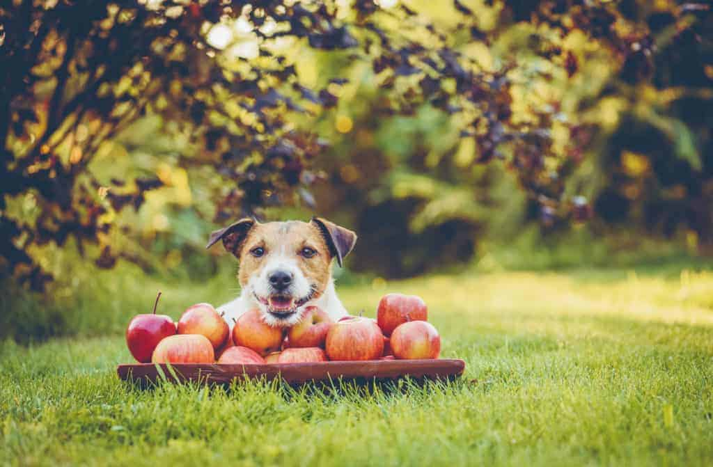 Jack Russell Terrier dog lying on grass with heap of apples