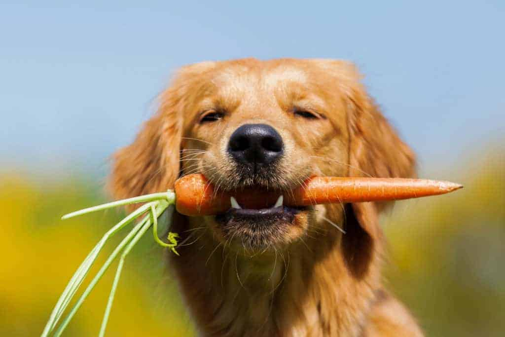 young golden retriever sitting with a carrot in the snout