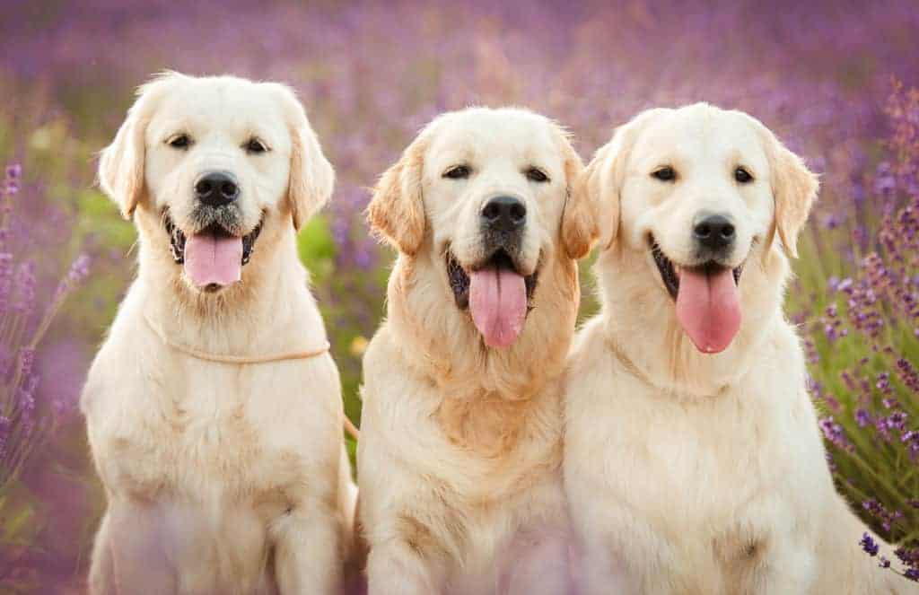 Three beautiful Golden Retriever dogs in the lavender field